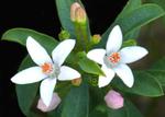 Eriostemon myoporoides, Philotheca myoporoides