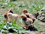 Comment faire naître des poussins ?
