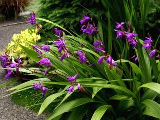 Orchidées pour l\'extérieur : les orchidées de jardin