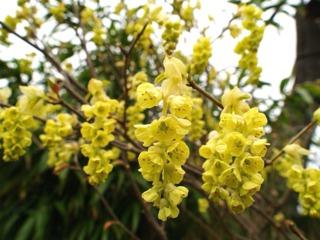 Corylopsis : fleurs