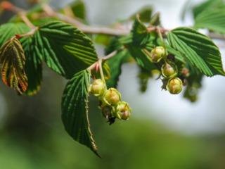 Corylopsis : fruits (en mai)