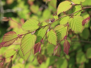 Corylopsis pauciflora : jeunes feuilles
