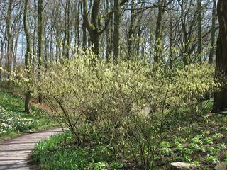 Corylopsis pauciflora planté en sous-bois