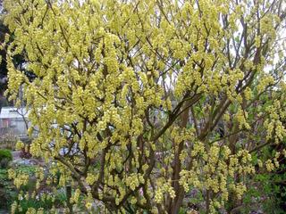 Corylopsis en fleurs