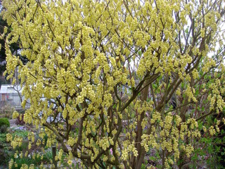 Corylopsis : plantation, culture, entretien