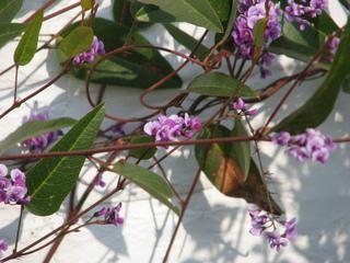 Hardenbergia violacea : plantation, culture, entretien