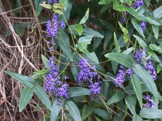 Hardenbergia violacea à floraison violette