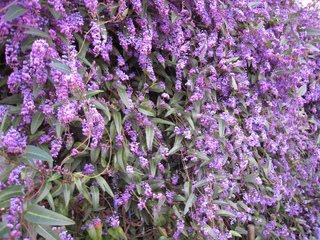 Hardenbergia violacea 'Happy Wanderer' contre un mur
