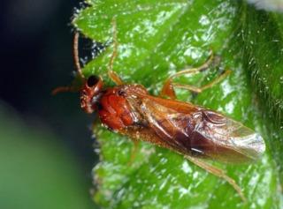 Hoplocampa flava (adulte)