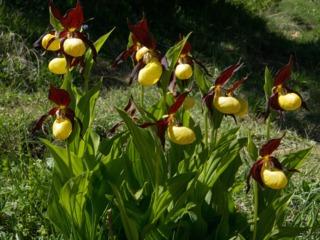 Orchidées pour l'extérieur : les orchidées de jardin