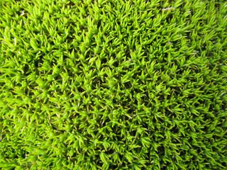 Scleranthus uniflorus - Détail du feuillage