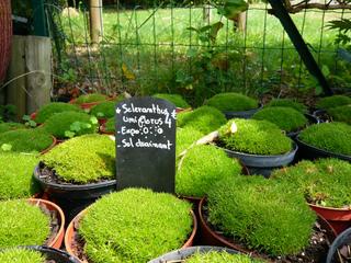 Scleranthus uniflorus - Jeunes plants