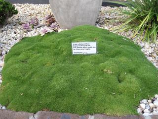 Scleranthus uniflorus dans une rocaille