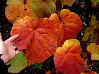 Vigne de Coignet : de grandes feuilles colorées en automne