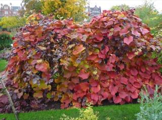 Vigne de Coignet : plantation, culture, variétés