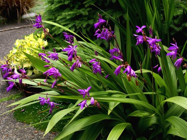 Orchid es pour l 39 ext rieur les orchid es de jardin for Jardin des plantes orchidees 2016