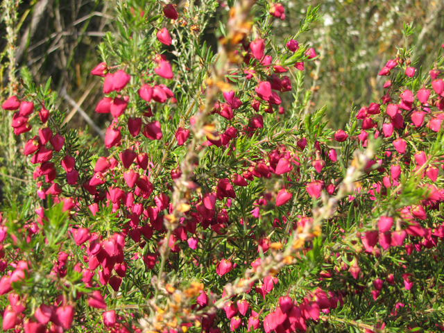 Boronia heterophylla : plantation, culture