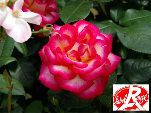 Des rosiers Label Rouge à découvrir cet automne