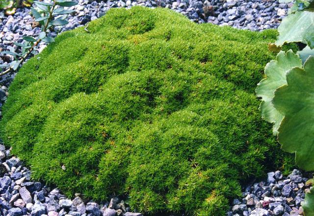 Scleranthus uniflorus plantation culture entretien - Couvre sol jardin japonais ...