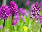 Orchidées pour l'extérieur