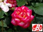 Des rosiers Label Rouge disponibles cet automne !