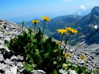 Arnica montana dans son habitat naturel