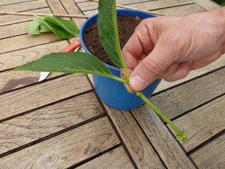 Bouture prête à planter