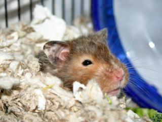Hamster enfoui dans sa litière