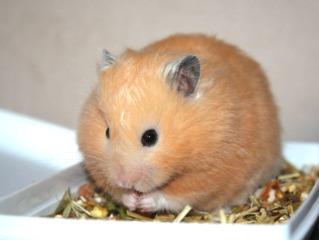 Hamster doré (syrien)