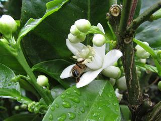 Fleurs d'oranger (Citrus sinensis)