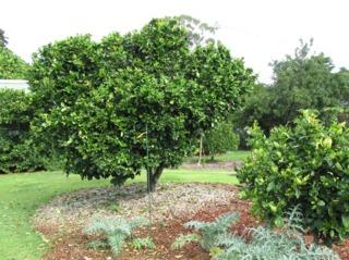Orangers en pleine terre