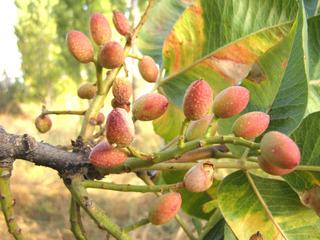 Pistachier - fruits (Pistacia vera)