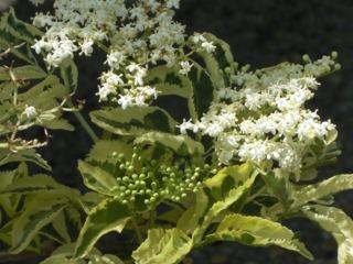 Sambucus nigra 'Madonna', feuillage panaché