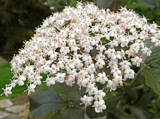 Sureau noir : fleurs