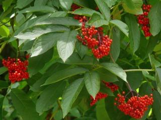 Sambucus racemosa, baies - Sureau à grappes