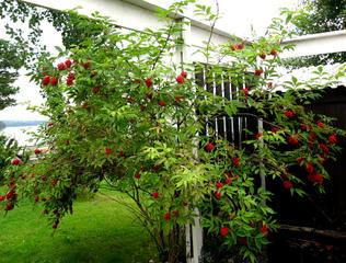 Sureau à grappes, sambucus racemosa