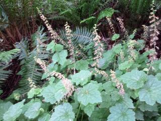 Tolmiea menziesii : floraison