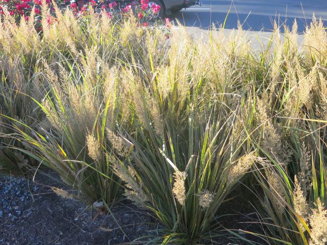 Calamagrostis : plantation, entretien, espèces et variétés