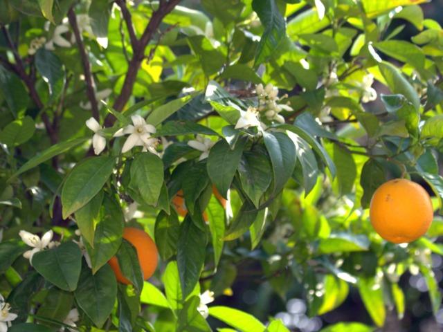 Oranger : plantation, culture, entretien