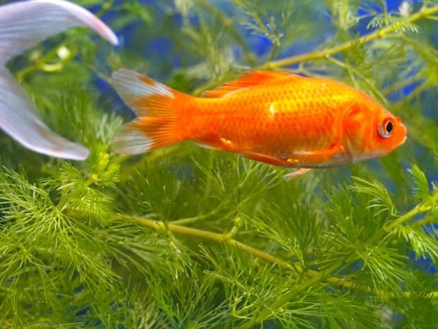 Elever des poissons rouges bocal entretien for Bocal plastique poisson