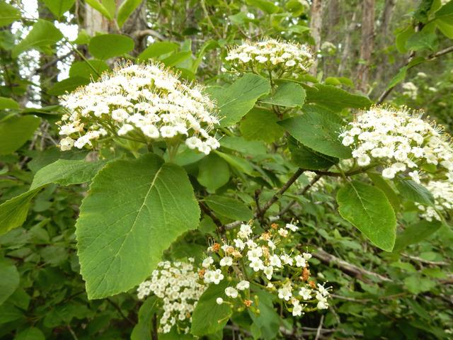 Viorne lantane : plantation, conseils de culture, multiplication