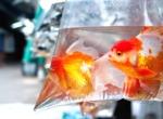 Elever des poissons rouges