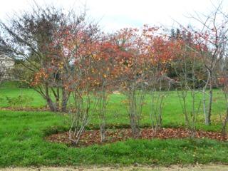 Paillage de feuilles mortes au pied d'arbustes