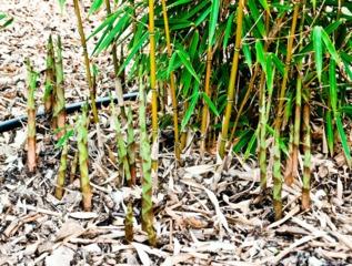 Bambou cespiteux : Fargesia robusta