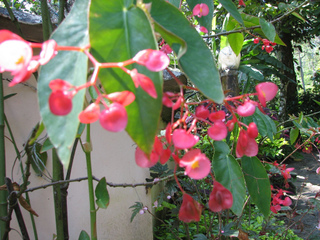 Begonia maculata, Tamaya