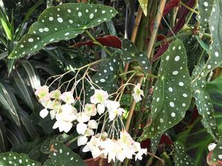 Tamaya à fleurs blanches (Begonia maculata)