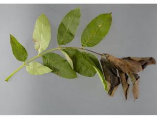 Chalarose du frêne : feuille atteinte