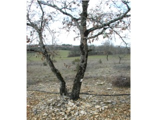 Chêne truffier en sol caillouteux (et système d'irrigation)