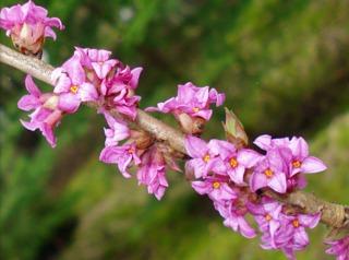 Daphne mezereum : floraison