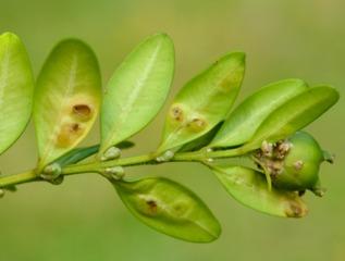 Dégâts de cécidomie du buis (Monarthropalpus buxi)